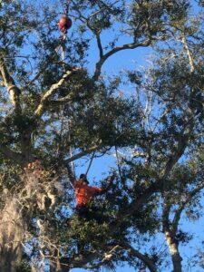 tree trimming Tampa